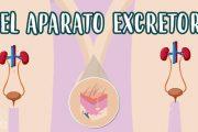 El aparato excretor. El sistema urinario y las glándulas sudoríparas.