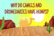 Why do Camels and Dromedaries have humps?