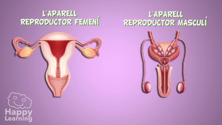 L'aparell reproductor masculí i femení